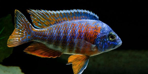 Colourful Freshwater Fish Peacock Cichlid Freshwater Fish Freshwater Aquarium Fish Aquarium Fish