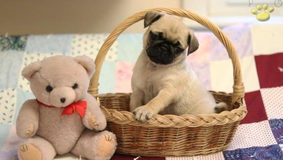 Pin By Margherita Cardone On 2019 Amazing Animals Pug Puppies