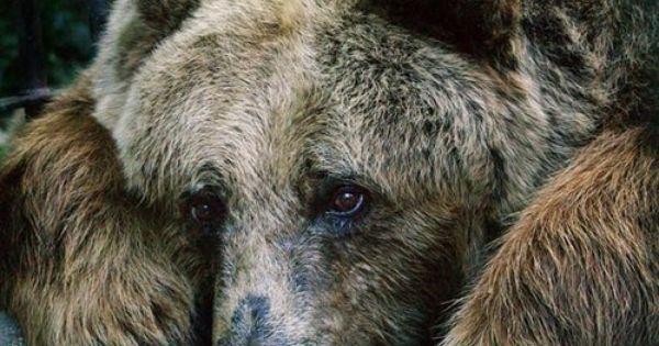 Sad Looking Bear Nature Pinterest Bears Animal And