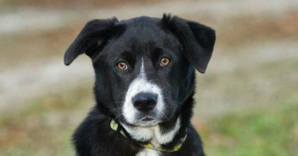 It S Your Dog S Health Adoption Monday Pixie Border Collie Labrador Retriever Mix Deerfield Nh Labrador Retriever Mix Retriever Mix Labrador Retriever