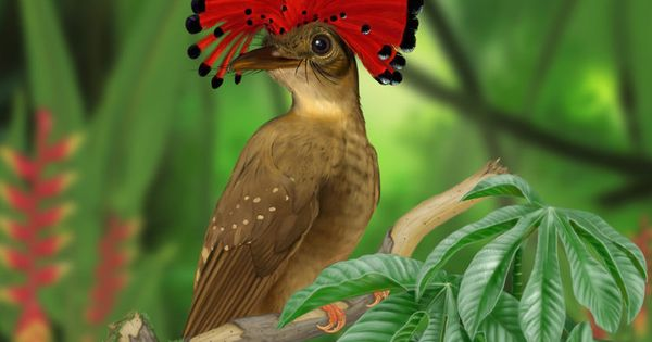 Amazonian Royal Flycatcher - I think I've found my new favorite bird!