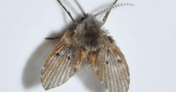 10 Get Rid Of Drain Flies Drain Moth Fly Plant Pests