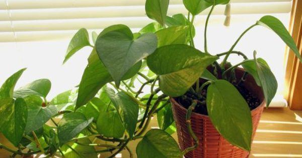 Pothos plante facile d 39 int rieur mi ombre tr s bonne - Plante d interieur facile d entretien ...