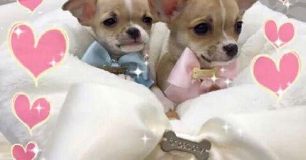 Pin By Jennifer Hanratty Castleman On My Doggy Chihuahua Puppies