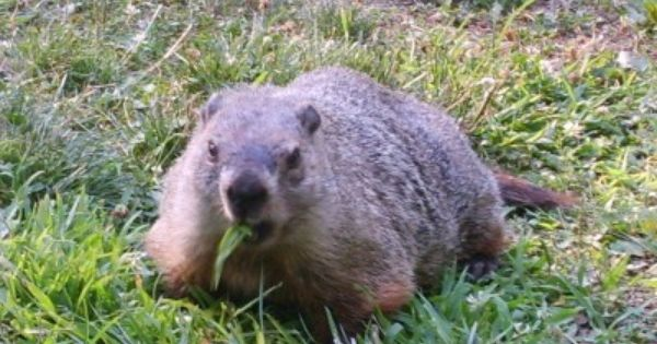 Groundhog Repellent How To Get Rid Of Groundhogs Gardens Plants And Animals