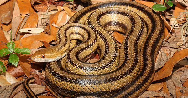 Yellow Rat Snake Pantherophis Obsoletus Quadrivittatus With
