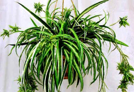 Spider plant non toxic to cats care tips http for Large non toxic house plants