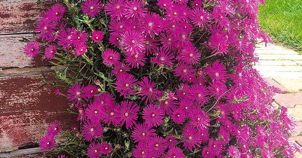 Delosperma Cooperi 3 Pflanzen Gunstig Online Kaufen Mein Schoner Garten Shop Pflanzen Mittagsblume Bodendecker