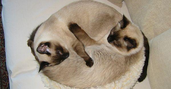 Yin Yang Siamese Cats Siamese Cats Cute Cats Pets Cats