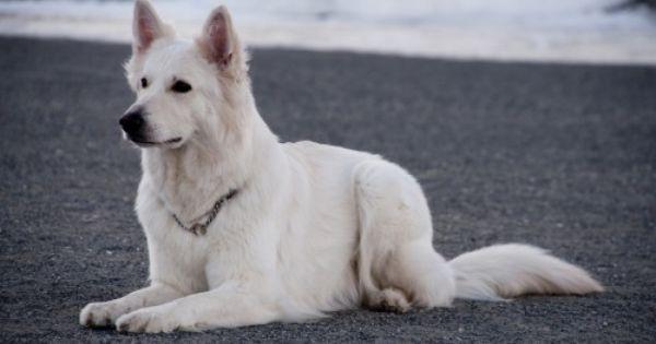 Starrymessenger Tumblr Com Winter Snow Christmas White Shepherd Schaferhunde Weisser Schaferhund