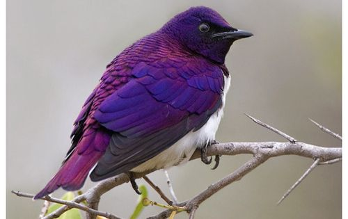 Violet Backed Starling.. Beautiful bird