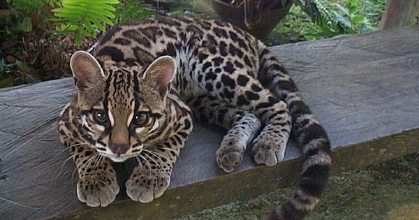 "Margays - ""This delightfully cute feline lives in Central and South America"