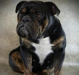 Our Black Swamp Bulldogs Ohio Rare Bulldog Breeder Black Black