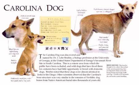 Carolina Dog Poster Dingo Dog Dogs Dog Poster
