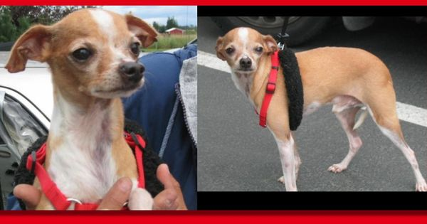 Italian Greyhound Chihuahua Mix Puppies Italian
