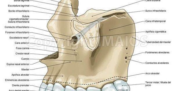 Maxilar Craneo Conducto Infraorbitario Foramen Infraorbitario