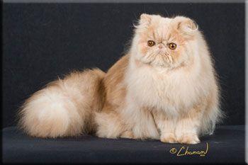 Windy Valley Persians Persian Cat Breeders Persian Cat Cats
