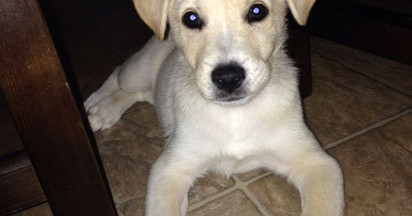 Shiba inu lab mix. | Pups | Pinterest | Lab mixes ...