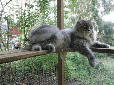 Kissan Aitaus Ulkoiluaitaus Siperiankissa Kissan Ulkoilu Kissan Ulkoiluaitaus Kissan Ulkohakki Dog Toilet Cat Area Pets Preschool