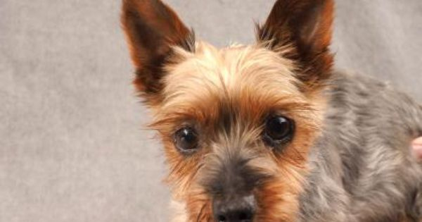 Adopt Linus A Lovely 8 Years Dog Available For Adoption At Petango Com Linus Is A Terrier Silky And Is Available At The National Dog Adoption Dogs Terrier
