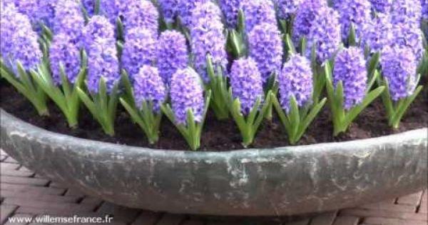 Www Willemsefrance Fr la #jacinthe est une plante incontournable au jardin, pour les