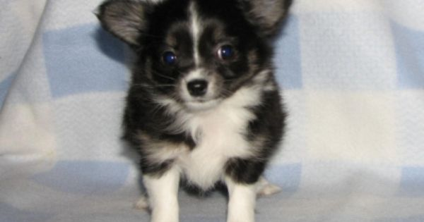 This Is Zeus Who Now Lives In Columbus Ohio He Is One Of Lola And Grizzly S Past Puppies Chihuahua Puppies Puppies Chihuahua