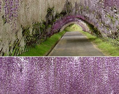 wisteria tunnel at Kawachi Fuji Garden in Japan. - on my bucket