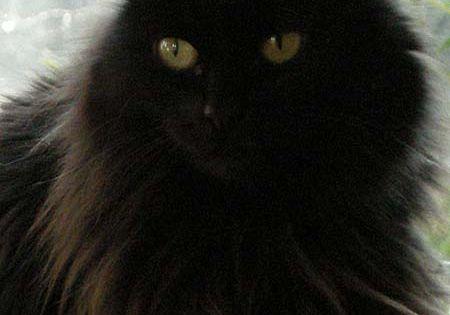 Black Cat- Thackery Binx