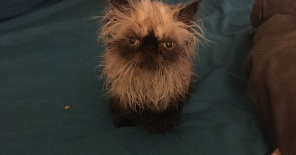 I M Angry Tonight I Just Got Another Bath Persian Cat Dogs Animals