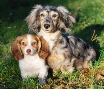 Photo Gallery Washington State Dachshunds Our Past Amp