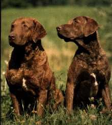 My Neigbs At Our Old House Had These Dogs They R Really Neat Looking Jus Like A Lab With Curly Hair Ches Chesapeake Bay Retriever Large Dog Breeds Cute Dogs