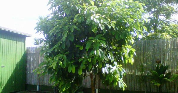 One day my avocado tree will look like this one it 39 s hard to believe it 39 s still a little seed - How fast does ivy grow practical tips for the green curtain ...