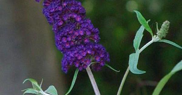 Black Knight Butterfly Bush Finegardening Butterfly Bush Black Knight Butterfly Bush Purple Plants