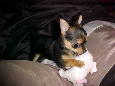 Chorkie Yorkie Chihuahua Mix Info Temperament Puppies Pictures Yorkie Chihuahua Mix Cute Dogs And Puppies Puppies And Kitties