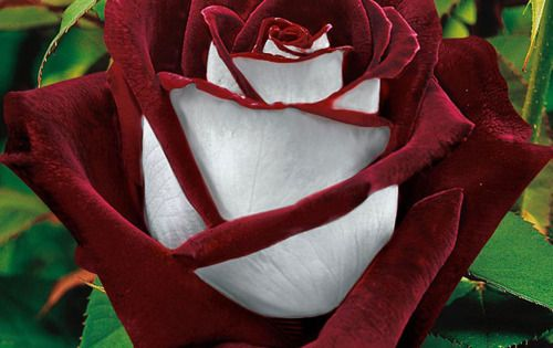 Osiria Rose, United Kingdom