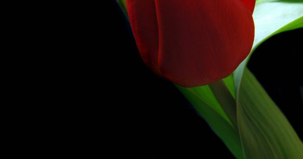 Red Tulip by Terrence Davis-, This is so Beautiful.