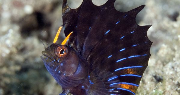 (Emblemania hypacanthus) Gulf Signal Blenny
