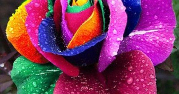 Seeds rare holland rainbow rose flower multi color plants for Holland rainbow rose seeds