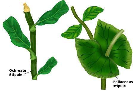 Calathea Roseopicta Jungle Rose Plant Leaves Calathea Plants