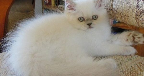 Attention Long Haired Cat Breeds Disk Trend Magazine Long Hair Cat Breeds Cat Breeds Cats