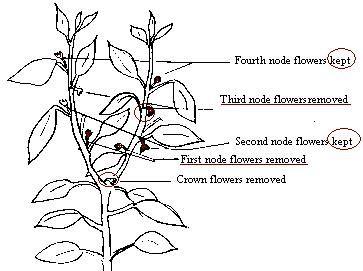 Pepper Planting Guide Luv2garden Com Pepper Plants Chilli Plant Pepper Plant Care