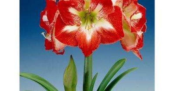 Fall To Winter Flower Bulbs Garden Plants Flowers The Home Depot Amaryllis Bulbs Bulb Flowers Winter Flowers