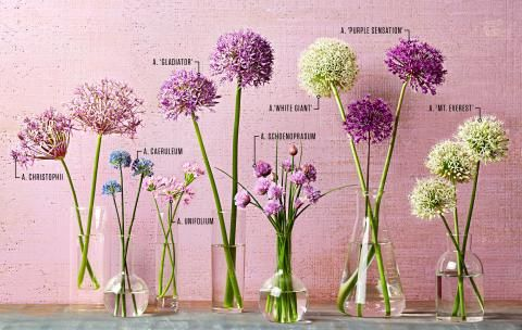 Your Guide To Alliums Allium Flowers Garden Bulbs Longfield Gardens