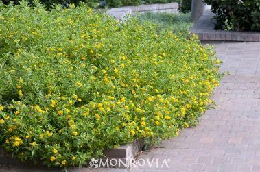 New Gold Lantana Lantana X New Gold 15 Tall 24 Wide More Colors Lantana Monrovia Plants Lawn Fertilizer