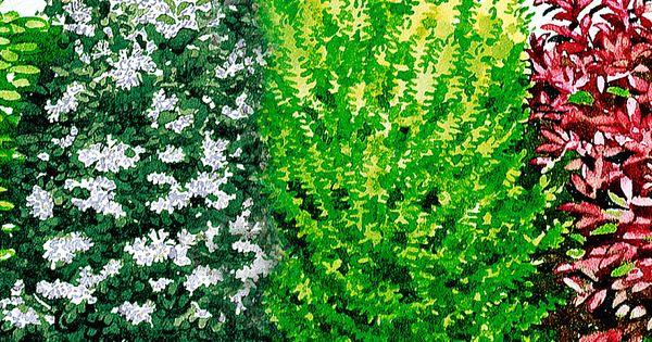 blatthaltende hecke b ume str ucher bakker outside pinterest evergreen hedge trees. Black Bedroom Furniture Sets. Home Design Ideas