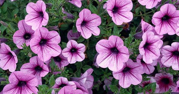 Rose Purple Vein With Images Petunias Plants Purple Veins