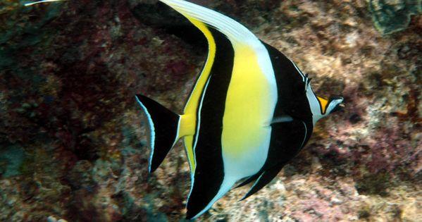 The moorish idol zanclus cornutus is a small marine fish for Fish representative species