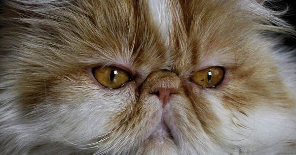Pin By Ashlann Draven On Butterfly Painting In 2020 Persian Cat Doll Face Persian Cat Persian Kittens For Sale