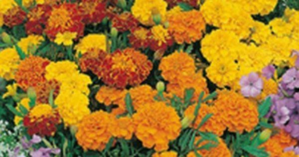 French Marigold Bonita Mixed Benih Tanaman Bunga