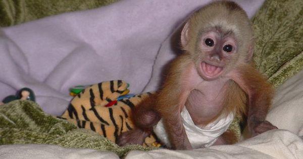 Cute Baby Capuchin Monkeys For Free Adoption Parkersburg